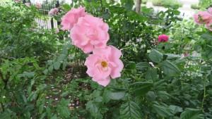 バラ '桜貝'