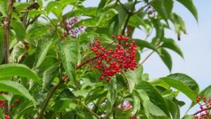 エゾニワトコの果実