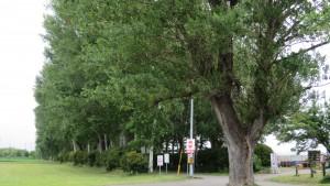 ポプラの巨木と並木