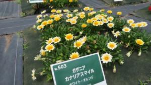 ガザニア・カナリアスマイル(ホワイト・オレンジ)