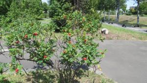 ハマナスの果実