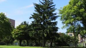 ドイツトウヒの巨木