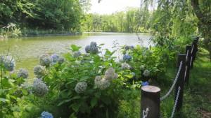 アジサイとボート池