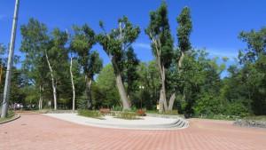 エウロアメリカポプラの巨木