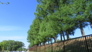 カラマツ並木