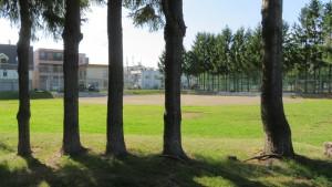 ドイツトウヒと野球場