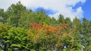ヤマモミジと背後のシラカバの木立