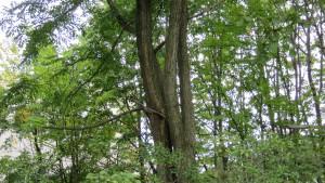 ニセアカシアの巨木と樹皮