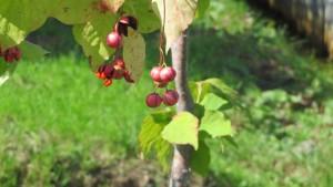 ツリバナの赤い果実
