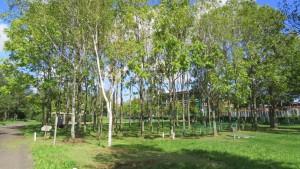 パークゴルフ場と木立