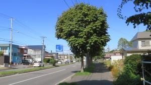 厚別東通とトチノキの並木