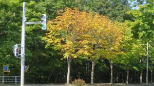 トチノキの黄葉