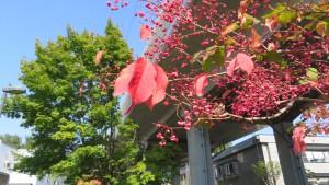 マユミの紅葉と淡紅色の果実