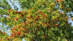 ナナカマドの木と赤い果実