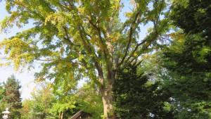 ハルニレの巨木と黄葉