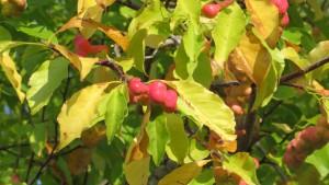 キタコブシの果実