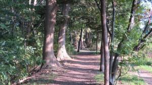 屯田防風林とヤチダモの並木