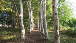 シラカバの並木