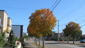 太平横8号通とトチノキ並木の黄葉
