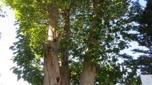 保存樹木「キタコブシ」