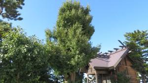 保存樹木「イチョウ」