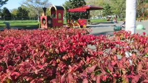 遊具広場とニシキギの紅葉