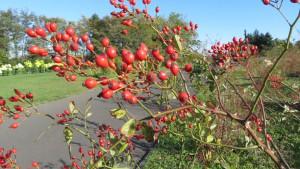 ノイバラの赤い果実