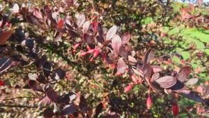 メギの紅葉と赤い果実