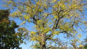 ヤチダモの黄葉