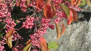 マユミの紅葉と赤い果実