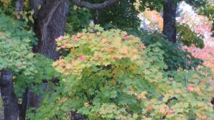 イタヤカエデの紅葉