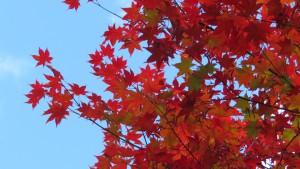 ヤマモミジの紅葉