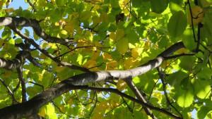 「農試公園」アオダモの黄葉