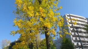 「発寒河畔公園」ヤチダモの黄葉
