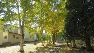 シラカバ並木の黄葉