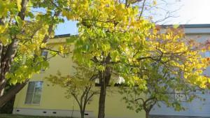 オオバボダイジュの黄葉