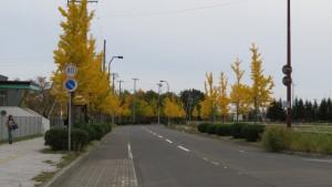 ほしみ駅前通のイチョウ並木と黄葉