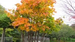 「星観緑地」ハウチワカエデの紅葉