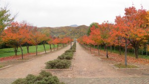 サクラ並木の紅葉と手稲山