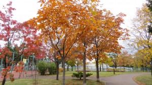 「星置公園」トチノキの黄葉