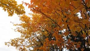アズキナシの紅葉