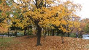 イタヤカエデの黄葉と落ち葉