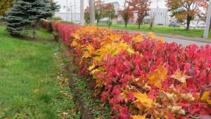 生垣の紅葉