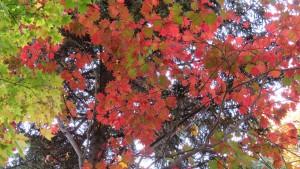 ハウチワカエデの紅葉とイタヤカエデの黄葉