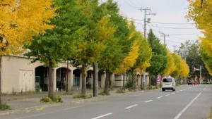 稲積西通とイチョウ並木の黄葉