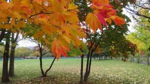 「手稲稲積公園」ハウチワカエデの紅葉