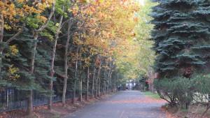プラタナス並木の黄葉