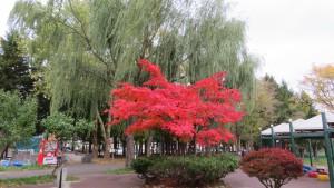 ハウチワカエデの紅葉とシダレヤナギ