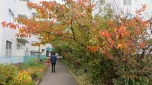 旧界川遊歩道とサクラの紅葉