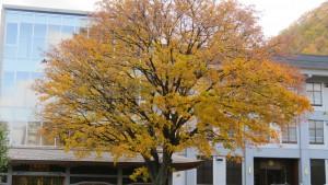 龍興寺のイタヤカエデの黄葉